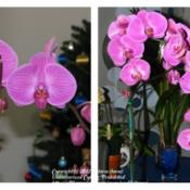 Location: At home-indoors-Central Valley area, CADate: Left photo 25Dec2011-Right photo 14Mar2012Before and After of my Phalaenopsis Orchid