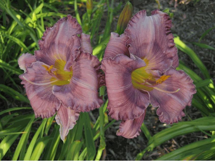 Photo of Daylily (Hemerocallis 'Lavender Blue Baby') uploaded by vic
