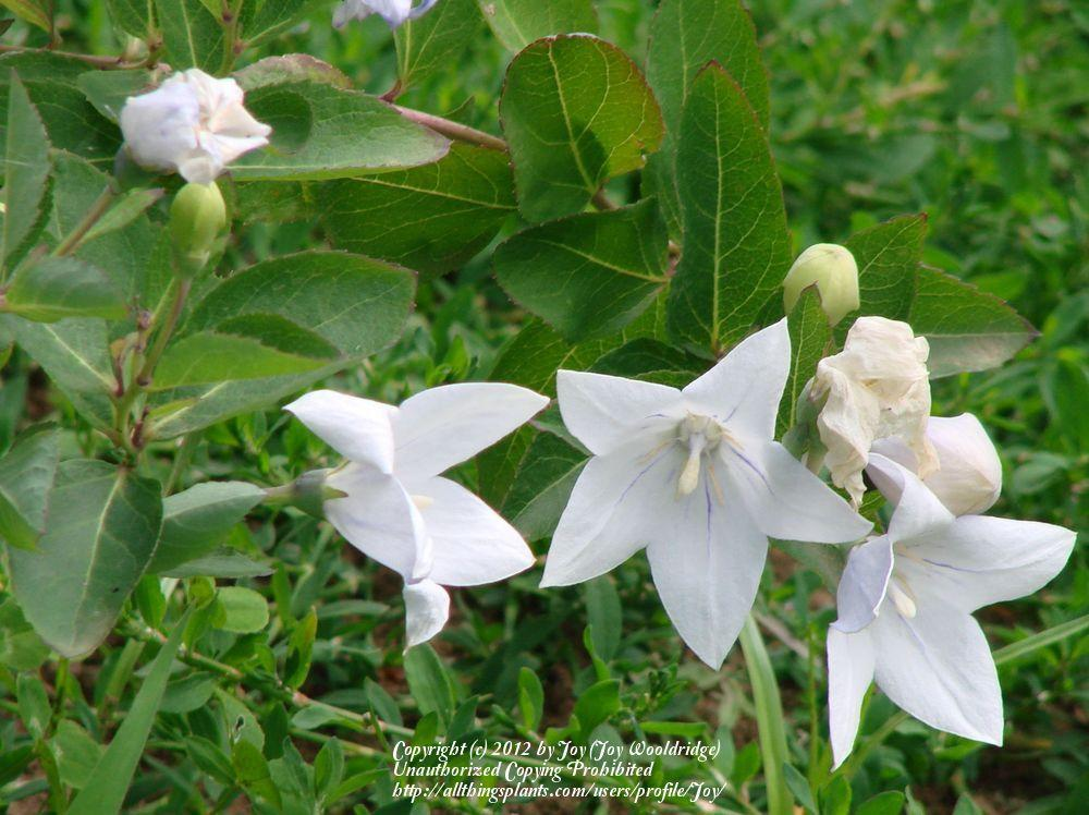 Photo of Balloon Flower (Platycodon grandiflorus 'Astra White') uploaded by Joy