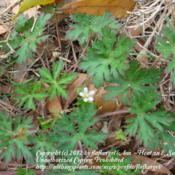 Location: zone 8 Lake City, Fl.Date: 2012-03-11growing wild in the yard