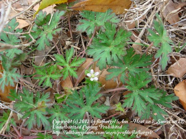 Photo of Carolina Cranesbill (Geranium carolinianum) uploaded by flaflwrgrl