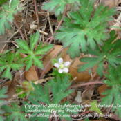 Location: zone 8 Lake City, Fl.Date: 2012-03-11tiny & adorable bloom