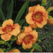 Photo Courtesy of 5 Acre Farm Daylilies Used With Permission