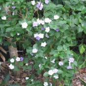 Location: Southwest FloridaDate: March 15, 2012Best kept as a small shrub, I find it prefers more shade than sun
