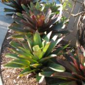 Location: Southwest FloridaDate: March 15, 2012a nice grouping of this beautiful Bromeliad