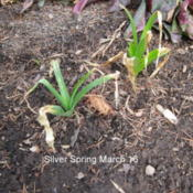 Location: Part sun Zone 6Date: 2012-03-16Planted the bulbs in mid October.A few weeks later growth appeare