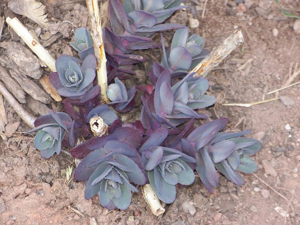 Photo of Stonecrop (Hylotelephium telephium subsp. telephium 'Purple Emperor') uploaded by HollyAnnS