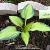 Location: Garland (Dallas), TXDate: April 2011Even as a liner, my only hosta to handle 2011's record-