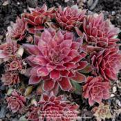 Location: Pacific Northwest, zone 8Date: Mar 16, 2012The slugs seem to like this sempervivum. It is one of t