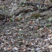 Location: Natural Area in Northeastern IndianaDate: 2012-03-17Growing wild
