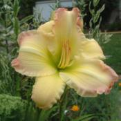 Date: 2002-08-19Photo Courtesy of Nova Scotia Daylilies Used with Permi