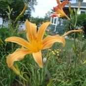 Date: 2004-08-31Photo Courtesy of Nova Scotia Daylilies Used with Permi