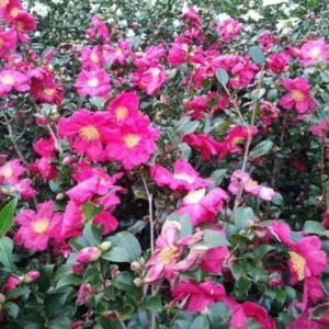 Photo courtesy of Camellia Forest Nursery
