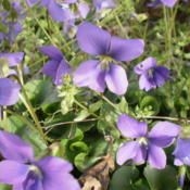 Location: Middle TennesseeDate: 2012-03-19Wild violets intermingled with some chickweed