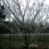 Location: Illinois zone 6Date: 2012-03-17THis plum flowers early before leaves apear