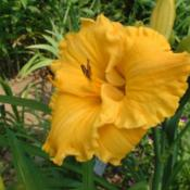 Date: 2002-07-23Photo Courtesy of Nova Scotia Daylilies Used with Permission