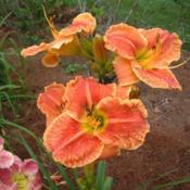 Date: 2009-08-09Photo Courtesy of Nova Scotia Daylilies Used with Permi
