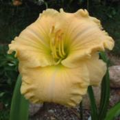 Date: 2002-08-16Photo Courtesy of Nova Scotia Daylilies Used with Permi