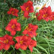 Location: Ditchlily's GardenDate: 2011-06-26Clump