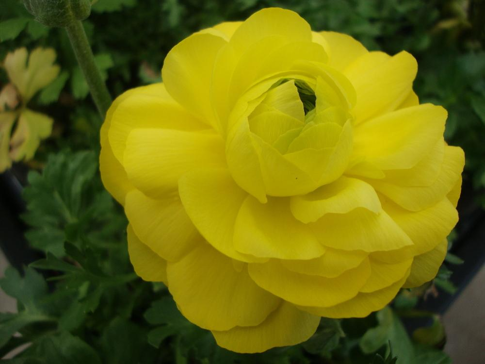 Photo of Persian Buttercup (Ranunculus asiaticus) uploaded by Paul2032