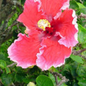 Location: HawaiiHibiscus rosa-sinensis