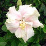 Location: HawaiiTropical Hibiscus (H. rosa-sinensis)