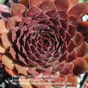 Location: Photo courtesy of Erwin Geiger, Semper-vivum.de, Nursery Sempervivum and hardy succulents.Date:  Sep 19, 2004Suppose to be 'Strider', but does not match written description.