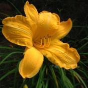 Date: 2004-08-02Photo Courtesy of Nova Scotia Daylilies Used with Permi