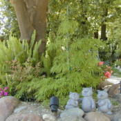 Location: My garden in Bakersfield, CADate: April 2009Waterfall Japanese Maple in spring
