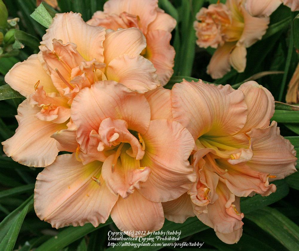 Photo of Daylily (Hemerocallis 'Siloam Double Classic') uploaded by tabby