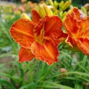 Date: 2011-07-29Photo Courtesy of Nova Scotia Daylilies Used with Permi