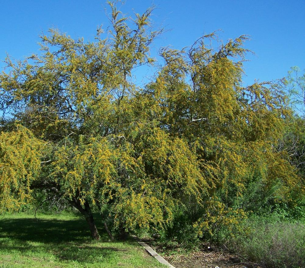 Photo Of The Entire Plant Of Texas Huisache Acacia Smallii Posted