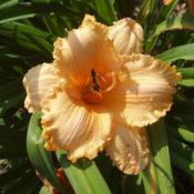 Date: 4000-03-25Photo Courtesy of Nova Scotia Daylilies Used with Permi