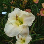 Date: 2009-08-10Photo Courtesy of Nova Scotia Daylilies Used with Permi