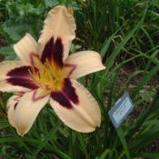 Date: 2009-07-06Photo Courtesy of Nova Scotia Daylilies Used with Permi