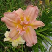 Date: 2010-07-30Photo Courtesy of Nova Scotia Daylilies Used with Permi