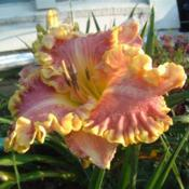 Date: 2005-08-14Photo Courtesy of Nova Scotia Daylilies Used with Permission