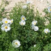 Location: 1283 by Lakehills, Bandera Co., TXDate: March 25, 2012White Prickly Poppy