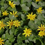 Location: Hampshire, England.Date: 2012-03-24Leser Celadine on a roadside.