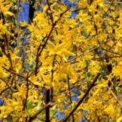 Location: Winchester, Hampshire, England.Date: 2012-03-25Forsythia in flower.