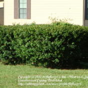 Location: zone 8 Lake City, Fl.Date: 2012-03-22cut into a hedge