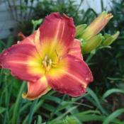 Date: 2006-07-12Photo Courtesy of Nova Scotia Daylilies Used with Permission