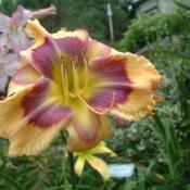 Date: 2005-08-21Photo Courtesy of Nova Scotia Daylilies Used with Permission