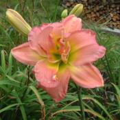 Date: 2009-08-23Photo Courtesy of Nova Scotia Daylilies Used with Permission