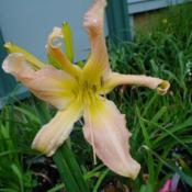 Date: 2011-07-12Photo Courtesy of Nova Scotia Daylilies Used with Permission