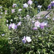 Location: Middle TennesseeDate: 2012-03-22Hibiscus syriacus