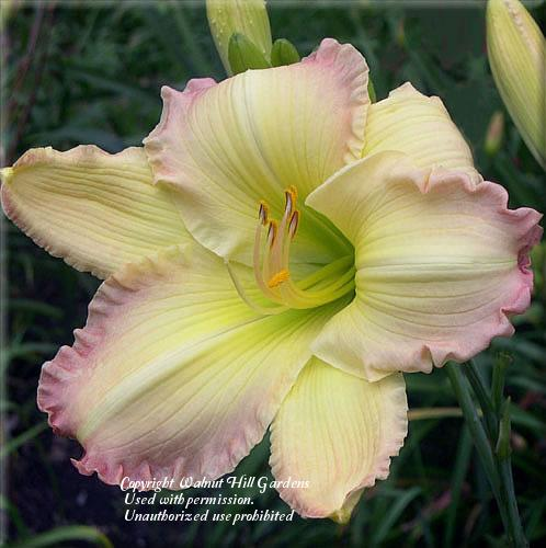 Photo of Daylily (Hemerocallis 'Beautiful Edgings') uploaded by vic