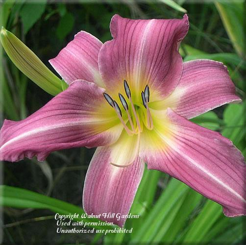 Photo of Daylily (Hemerocallis 'Bejeweled') uploaded by vic