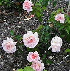 Photo of Rose (Rosa 'Compassion') uploaded by goldfinch4