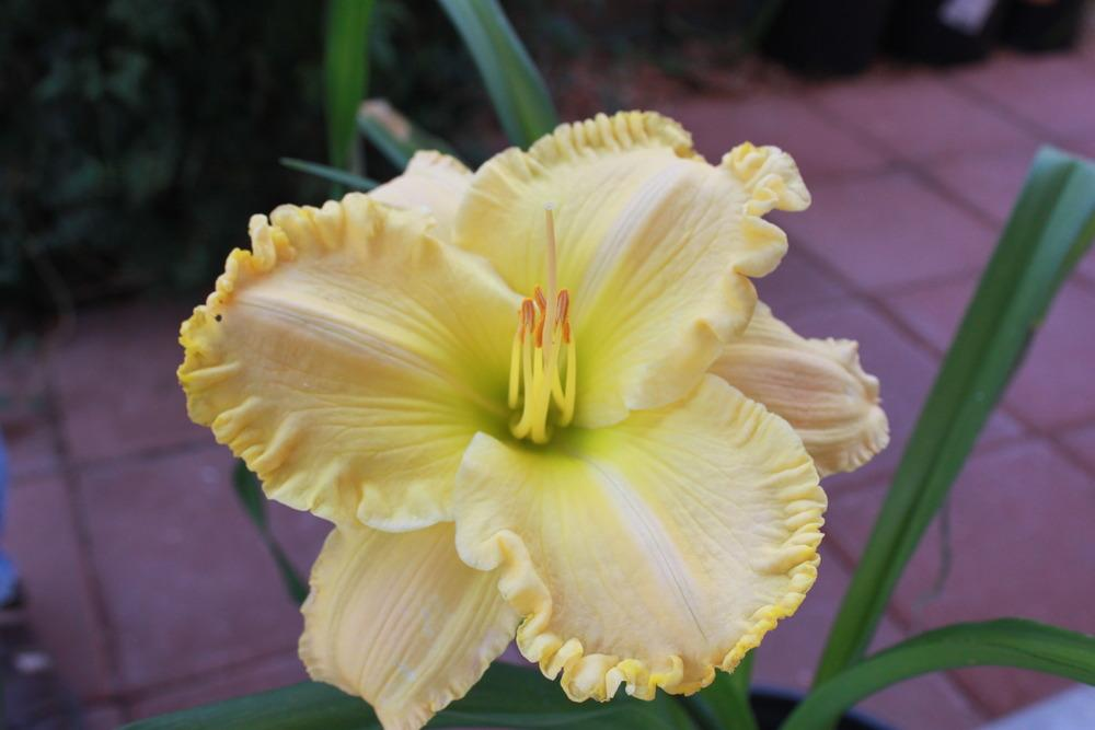 Photo of Daylily (Hemerocallis 'Larry Grace') uploaded by jakedasnake89